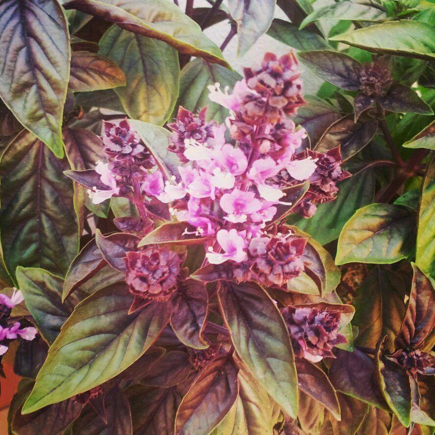 Flor de la albahaca morada